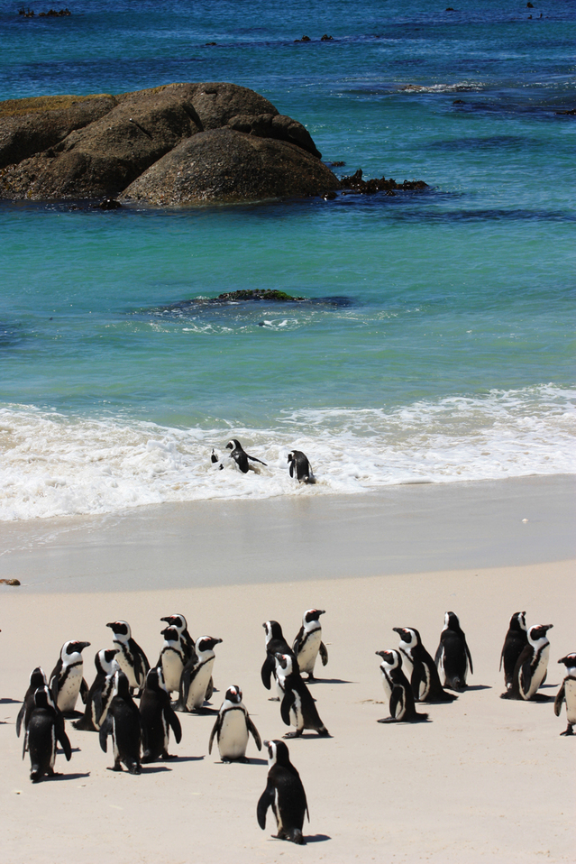 the-african-penguin-1341052-639x958